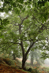 A walnut tree in the mist (Beatriz-c) Tags: walnut nogal mist niebla landscape paisaje forest borque nature naturaleza verde green otoo autum