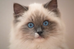 Who? Me? (anne.lewismartin) Tags: cat mitted kitten animal ragdoll cookie