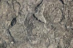 Fossil Ammonites (harve64) Tags: portrush countyantrim northern ireland north coast fossil ammonite