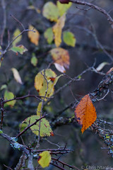 Before the fall (Chris Ntardis graphy) Tags: red autumn fall epirus greece ioannina tree branches