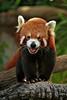 Red Panda (boze610 [ GRocca Photo ] ( travel and nature )) Tags: redpanda red panda animali animals zoo australia endangered beautiful greatphotographers groccaphoto naturalmente natura nature naturallight claws mammal mammifero chinese tree