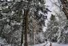 Under Majestic Hemlock, 2016.11.20 (Aaron Glenn Campbell) Tags: mannygordon recreationsite pinchotstateforest thornhursttownship lackawannacounty nepa pennsylvania textures snowfall snow blowing wind wintry trees outdoors nature 3xp ±2ev macphun aurorahdr2017 google nikcollection sony a6000 ilce6000 mirrorless rokinon 12mmf2ncs wideangle primelens manualfocus emount