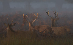 Young Lad, Teenager and Dad all watching... (paulinuk99999 - tripods are for wimps :)) Tags: paulinuk99999 red deer shy shunning camera lookingaway fog mist sal70400g maleantlersize