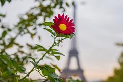 Fall (julialarrigue) Tags: paris eiffeltower france flowers flower bokeh bokh eiffel color colors colour