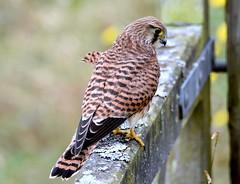 The Gatekeeper. (pstone646) Tags: bird kestrel nature wildlife fauna kent elmley closeup animal raptor birdofprey
