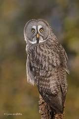 Great Grey Owl D50_4661.jpg (Mobile Lynn) Tags: owls birds greatgreyowl nature captive bird fauna strigiformes wildlife nocturnal ringwood england unitedkingdom gb coth specanimal coth5 ngc sunrays5 specanimalphotooftheday npc