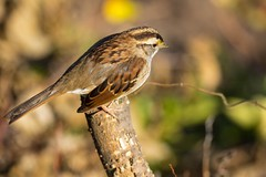 7K8A0720 (rpealit) Tags: scenery wildlife nature state line lookout whitethroated sparrow bird