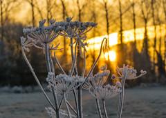 Winter Sunrise (gopper) Tags: sunrise golden ngc amazing lechlade swindon gloucestershire sun orange nikon d5300 sigma 105mm river plant plants ice icy icey cold frozen
