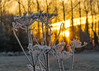 Winter Sunrise (gopper) Tags: sunrise golden ngc amazing lechlade swindon gloucestershire sun orange nikon d5300 sigma 105mm river plant plants ice icy icey cold frozen