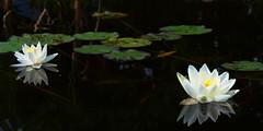 Nympheas (g e g e n l i c h t) Tags: seerose nymphea alba teich wasser pflanze wasserpflanze schwimmbltter blten reflexionen