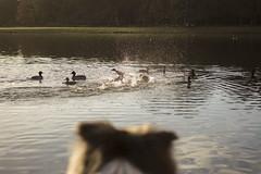 IMG_7833 (Marcel Hendriks) Tags: veluwe ducks water birds splash dog bordercollie hunt sinthubertus hogeveluwe