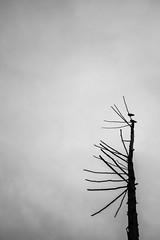 Walk_Oct22_2016-7759.jpg (labrossephotography) Tags: bird tree stark minimalism negativespace sky clouds overcast landscape vancouver bc falsecreek olympicvillage