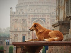 good dog (bearlike1) Tags: dog animal animals wildlife park lodo gardens india new delhi shisha gumbab bara history historic tomb amazing awesome twilight wonderful monument stray scavanger mosque