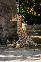 New Baby 667 (_Rjc9666_) Tags: baby girafa giraffe jardimzoologico lisboa lisbon lisbonzoo nikkor55200mm nikond5100 park portugal wildlife zoo ©ruijorge9666 pt 1622 667
