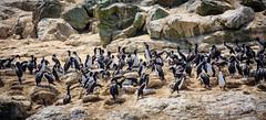 Chile 2013-3774 (sebtac) Tags: chile2013 chile 2013 outdoor 13 reserva nacional pingüino de humboldt