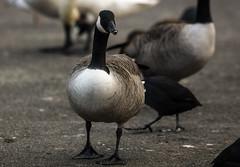 Canada Goose (3) (grahamh1651) Tags: helstonboatinglake birds gulls ducks geese waterbirds swans