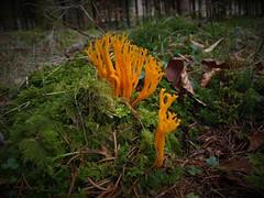 Ramaria (sisurko) Tags: seta bosque mushroom fungi naranja musgo