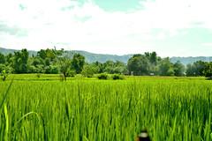 DSC_0020 copy (kenken.marilag) Tags: flower cow rice philippines farming nueva baka palay ecija lupao