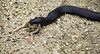 Red-bellied Black Snake Eating (Arcus Cloud) Tags: animal animals feeding outdoor eating reptile snake wildlife australia scales nsw centralcoast snakes reptiles herpetology australianwildlife redbelliedblacksnake australiansnake