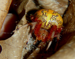 Marbled Orb Weaver_2015.10.12 (Urutu_From_SW_PA) Tags: spider orbweaver bigspider largespider orangespider marbledorbweaver