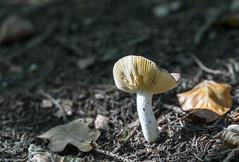 Schwammerl (wigerl - herwig ster) Tags: wood white mushroom yellow forest austria leaf sterreich sony krnten carinthia gelb alpha blatt pilz 18105 nadeln glens weis schwammerl a6000 naturwald emount sel18105 warmbadnature