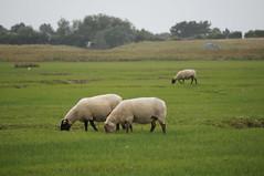 DSC03601 (majolie46) Tags: sheep dunes marais moutons préssalés herbus saltmeadows