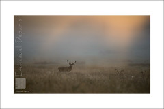 Red Deer Land fog & light (Emmanuel DEPARIS) Tags: uk red photo nikon richmond deer emmanuel cerf d4 animalier deparis