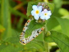 Tiger moth Heliotrope moth (jeaniephelan) Tags: insect moth tigermoth heliotrope daytimemoth nationalmothweek tasmanianmoth utetheisapuichelloides