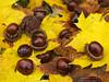 Autumn leaves and chestnuts (Bernhard_Thum) Tags: autumn herbst autumncolours hasselblad chestnuts franken autunno castagne kastanien herbstfarben thum elitephotography alemdagqualityonlyclub capturenature pinnaclephotography bernhardthum h5d60 hcmacro4120ii