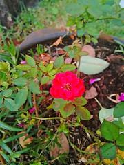 20151110_190531_HDR (Rodrigo Ribeiro) Tags: nature rose garden gardening natureza rosa jardim jardinagem