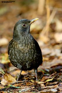 Common Blackbird, Turdus merula, female.