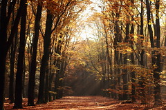 Autumn shines! (RW-V) Tags: autumn trees light sunshine forest automne gold licht woods lumire herbst herfst nederland thenetherlands foliage leafs bos wald paysbas fort apeldoorn sunnyday niederlande  gelderland woud canonef50mmf18ii 2500views 100faves 200faves 3500views 150faves 80faves 300faves hoogbuurlo 120faves 250faves 175faves canoneos60d lautumne sundaywalkwiththedog