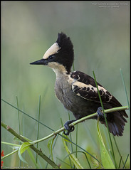 Heart-spotted woodpecker (Hemicircus canente) (ganesh_hegde) Tags: birds karnataka westernghats yellapur nikond90 ganeshhegde tamron150600