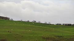 Green Field, White Sheep (Katie_Russell) Tags: ireland green grass northernireland ni ulster nireland norniron coleraine countylondonderry countyderry coderry colondonderry colderry countylderry