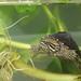 Eastern Musk Turtle, Juvenile