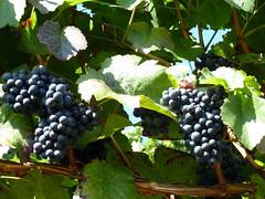 Weintrauben (Proteus250245) Tags: germany deutschland ludwigsburg badenwrttemberg weintrauben hoheneck