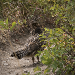 "Ruffed Grouse • <a style=""font-size:0.8em;"" href=""http://www.flickr.com/photos/63501323@N07/22778556970/"" target=""_blank"">View on Flickr</a>"