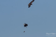 Bald Eagles Battle in the Air - 4 of 12
