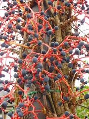 Beerenschmuck (Jrg Paul Kaspari) Tags: fruits fruit parthenocissus wilderwein neumagen strasenlaterne fruchtschmuck beerenschmuck bepflanzte