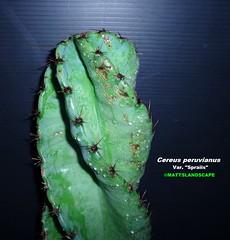 "Cereus peruvianus var. ""Spiralis"" (Stem growth close up Pic 3) (mattslandscape) Tags: blue cactus plant green peru fruit cereus kakteen peruvianus repandus spiralis monstrose spiraled repandans"