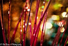 20151121_3469_Kornoelje-bewerkt (Rob_Boon) Tags: autumn plant backlight sunrise bokeh herfst waterdruppel kornoelje robboon colefpro4