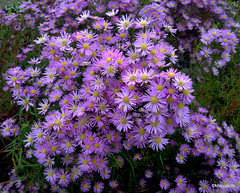 Aster 'Pink Star'