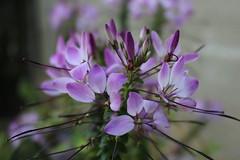 Cleome (LizabethL) Tags: pink plant flower blossom outdoor bloom mygarden cleome spiderflower