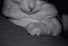 Charlie (pasta frolla) Tags: charlie gatto gatti animali animalidomestici miagolare