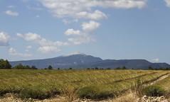 Lavandes et Mont Ventoux (1911 m) (Larch) Tags: landscape scenery plateaudalbion provence lavande champdelavande ligne line nuage cloud sky lavender lavenderfield ventoux montventoux champ field campagne country plante plant montagne mountain gantdeprovence