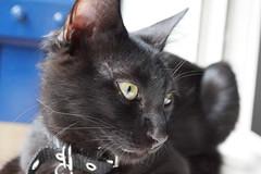 Shinobi (Alexsandra Machado (temporarily offline)) Tags: cat gato kitten kitty preto black fluffy cute