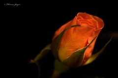 The Promise 0926 Copyrighted (Tjerger) Tags: nature beauty black blackbackground bloom closeup flora floral flower green macro orange petals plant portrait rose stem summer wisconsin yellow beautifu promise natural