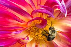 The Gluttonous Bee (Ben-ah) Tags: patriciaannssunset pollen honey bee dahlia flower pistil macro petal nybg newyorkbotanicalgarden
