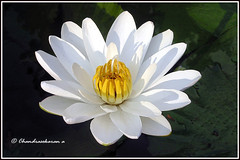 6461 - water lily (chandrasekaran a) Tags: waterlily lily flowers nature india chennai canon
