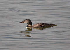 Common Loon (Neal D) Tags: bc surrey bird loon commonloon crescentbeach water gavlaimmer
